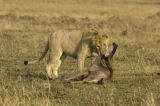 Lion (Panthera leo) killing young wildebeast