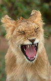 Young Lion (Panthera leo) pulling a face