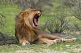 Male Lion (Panthera leo) yawning, Namibia