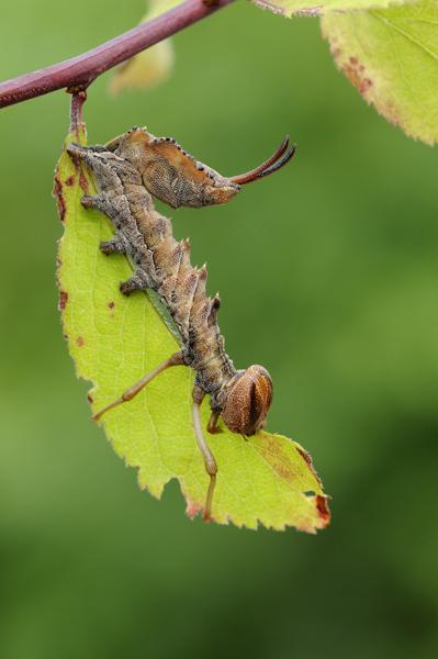 Lobster Moth (Stauropus fagi) caterpillar, UK