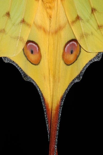 Madagascan Moon Moth (Argema mittrei)