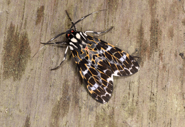 Marbled Tiger Moth