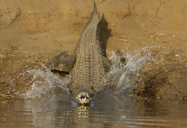 Nile Crocodile (Crocodylus niloticus) goes in search of lunch