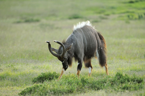Nyala (Nyala angasii) male in territorial display, South Africa