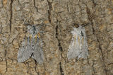 Male and Female Puss Moth