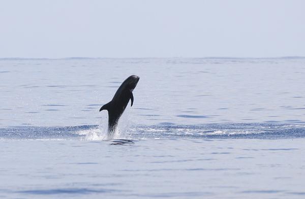 Risso's Dolphin (Grampus griseus) breaching, Maldives