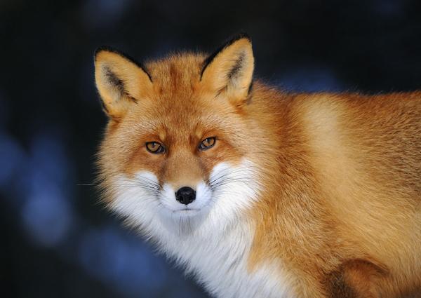Red Fox (Vulpes vulpes) Norway