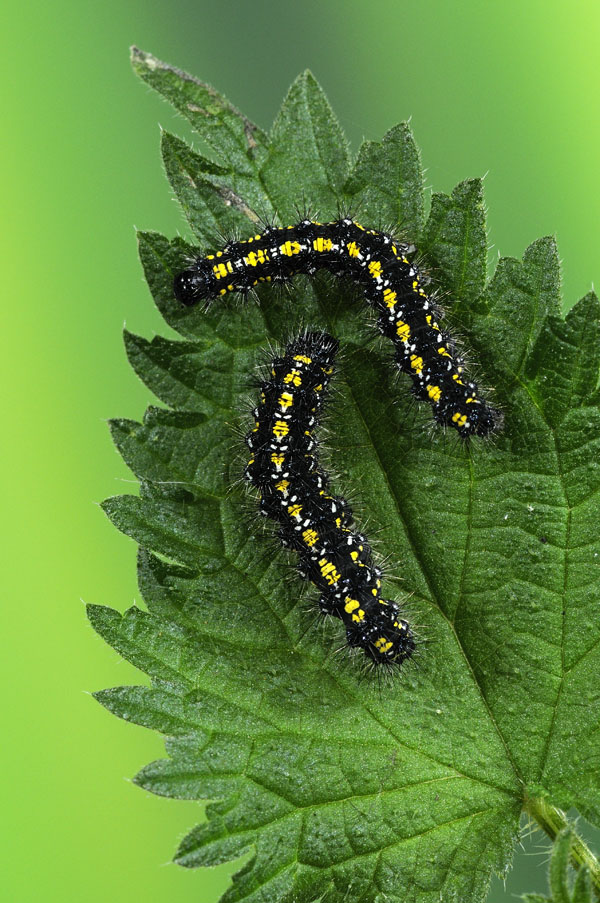 Caterpillars of The Scarlet Tiger Moth
