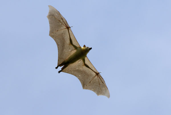 Straw-coloured Fruit Bat (Eidolon helvum) in flight, Zambia