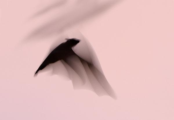 Straw-coloured Fruit Bat (Eidolon helvum) in flight, Zambia