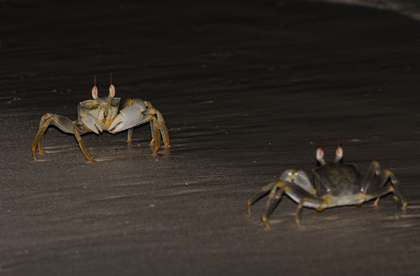Ghost or Sand Crabs confrontation (Ocypode species) Maldives