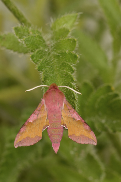 Small Elephant Hawkmoth