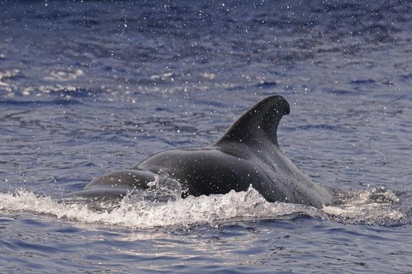 Short-finned Pilot Whale (Globicephala macrorhynchus) Maldives