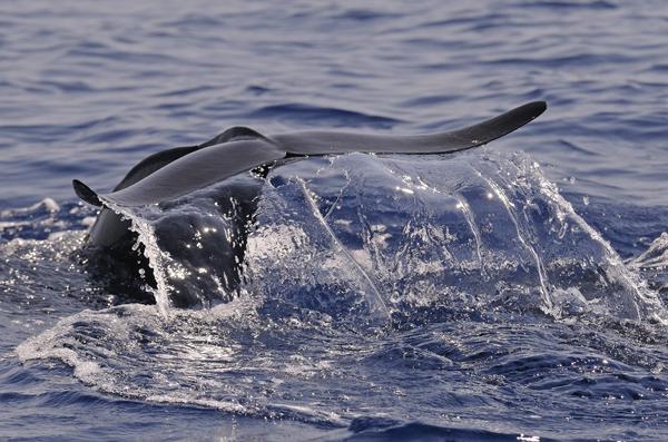Short-finned Pilot Whale (Globicephala macrorhynchus) diving, The  Maldives