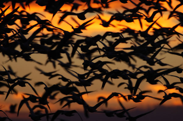 Snow Geese (Chen caerulescens) taking flight at dawn