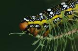 Caterpillar of The Spurge Hawkmoth
