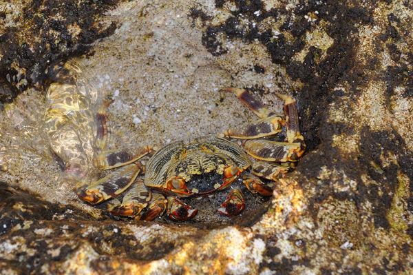 Rock Crab (Grapsus species) The Maldives