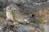 Snow Leopard or Ounce (Panthera uncia)