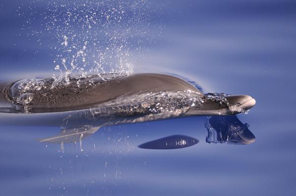 Pantropical Spotted Dolphin (Stenella attenuata) The Maldives