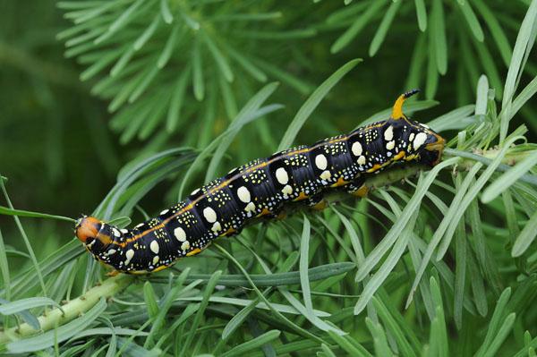 Spurge Hawkmoth caterpillar