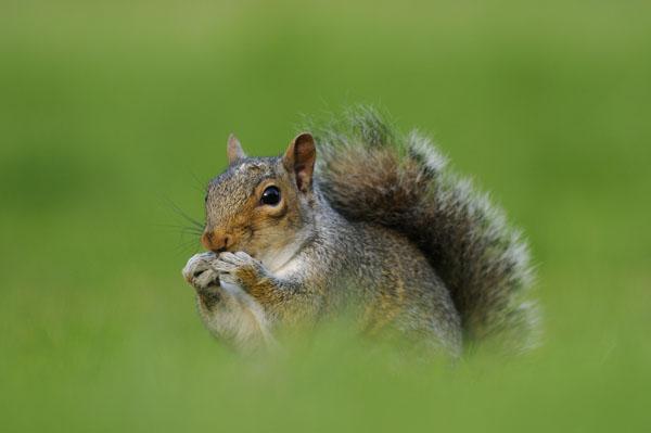 Grey Squirrel (Sciurus carolinensis) UK