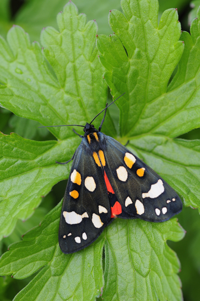 Scarlet Tiger Moth (Callimorpha dominula) UK