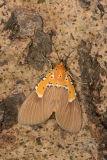 Specious Tiger Moth
