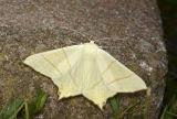 Swallowtailed Moth