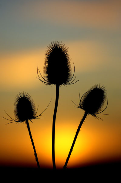 Teasel (Dipsacus fulloum) seedheads silhouetted against the setting sun
