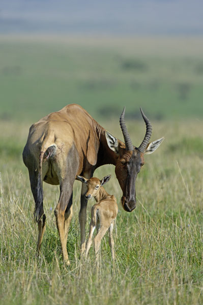 Topi (Damaliscus korrigum) with newborn calf