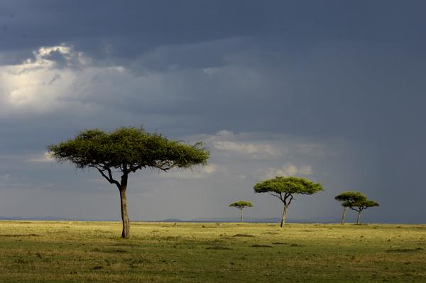 Acacia Trees, Masai Mara, Kenya