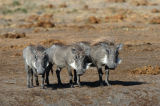 Three little Warthogs (Phacochoerus africanus)