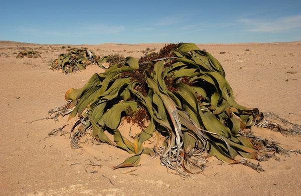Welwitchia (Welwitchia mirabilis) plant in the Namibian Desert