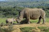 White or Square-lipped Rhinoceros (Ceratotherium simum) and calf, South Africa