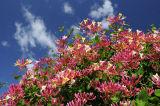 Wild Honeysuckle in bloom, UK