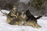 Gray or Timber Wolf pack (Canis lupus)