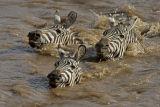 Zebras swimming across the Mara River, Kenya