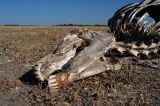 Zebra Skull, Botswana