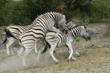 Zebra's mating, Kenya