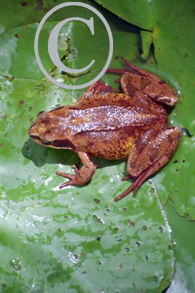 Common Frog.