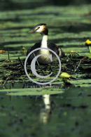Great Crested Grebe on the Nest