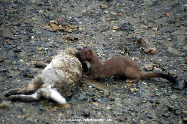 Stoat at rabbit kill.