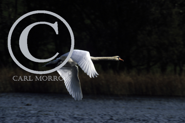 Mute Swan in flight.