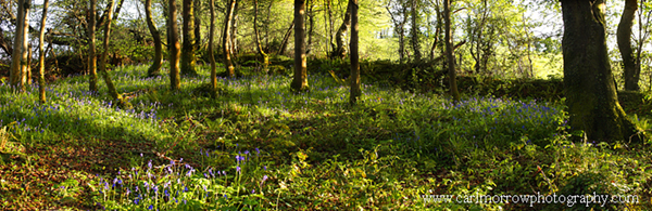 Bluebell wood in Spring panorama