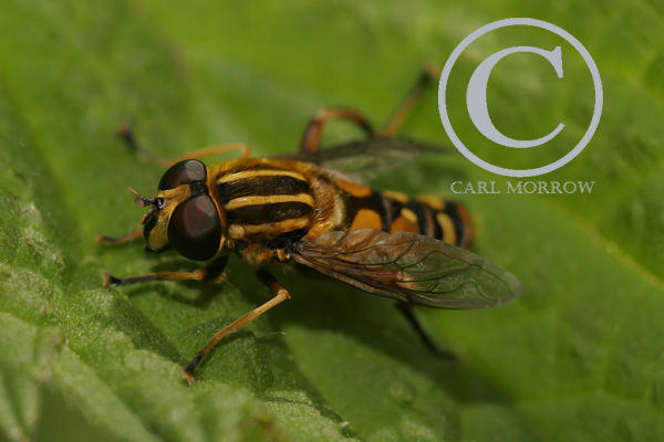 The Sun Fly or Hoverfly