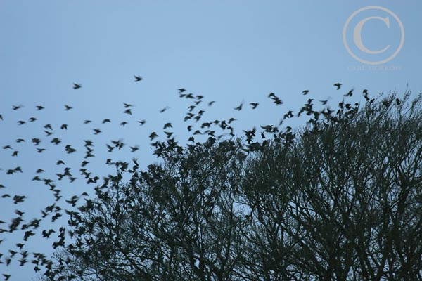 Flock of Starlings.