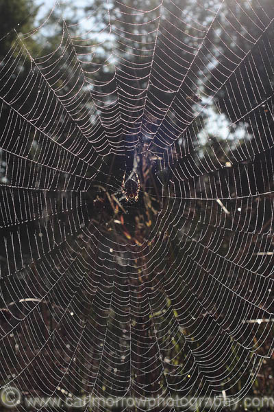 A Garden Spider waits in it's web.