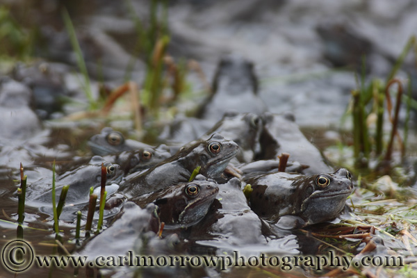 Frogs at Spawning time