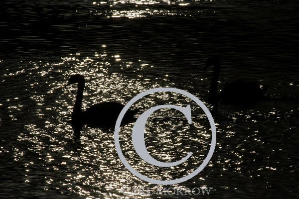 Mute Swans Nightswimming.