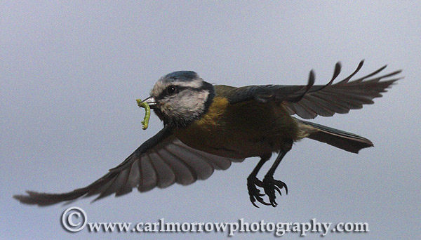 Blue Tit in mid flight.